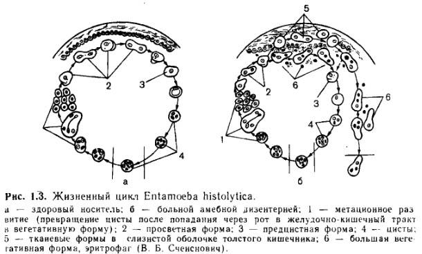 Дизентерийная амеба: стадии развития