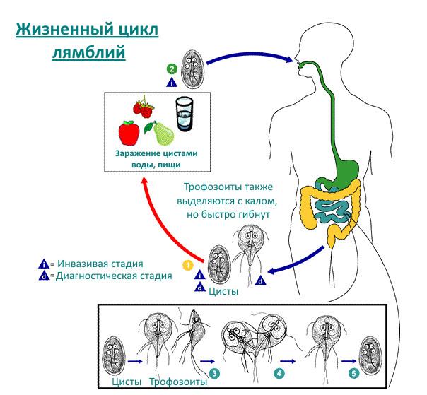 Жизненный цикл кишечной лямблии