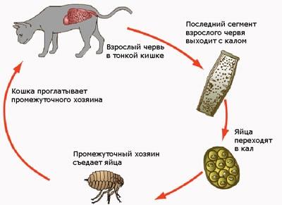 Жизненный цикл ленточных глистов у кошек