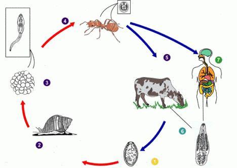 Ланцетовидная двуустка: жизненный цикл