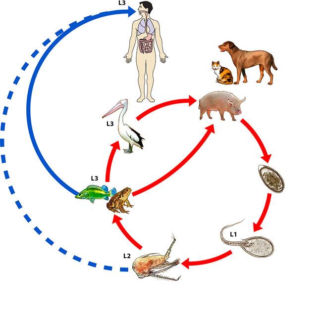 Цикл развития