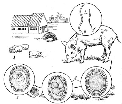 Цикл развития свиного червя