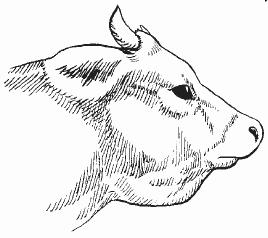 Отек нижней челюсти у скота