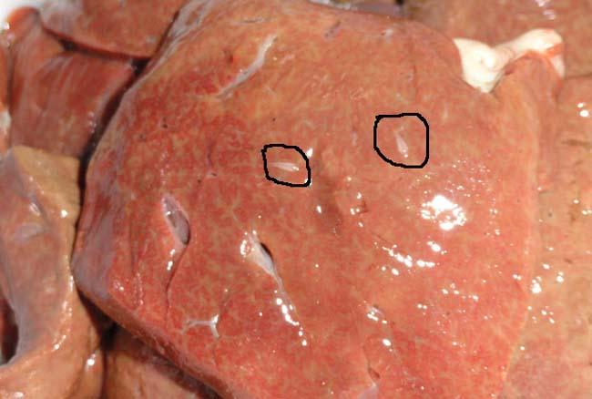 Зараженное мясо