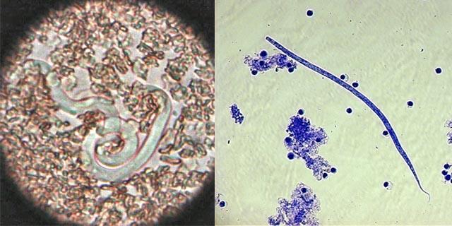Dirofilaria immitis и Dirofilaria repens.