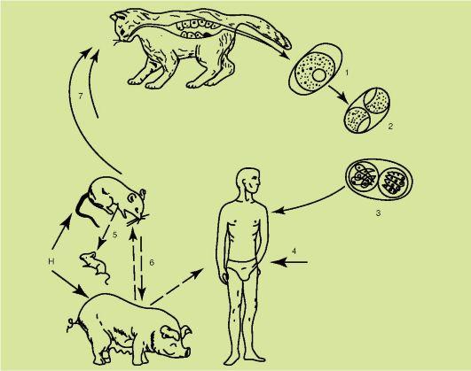 Жизненный цикл развития: схема
