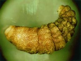 Личинка Cuterebra