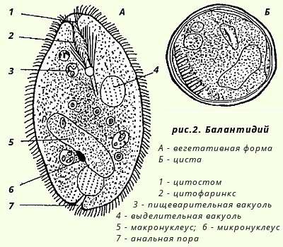 Балантидии инфузория (Balantidium coli): жизненный цикл развития ...