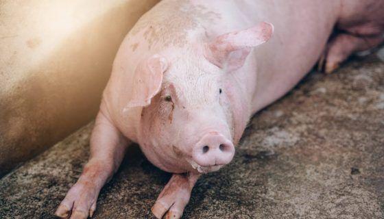 Больная глистами свинья