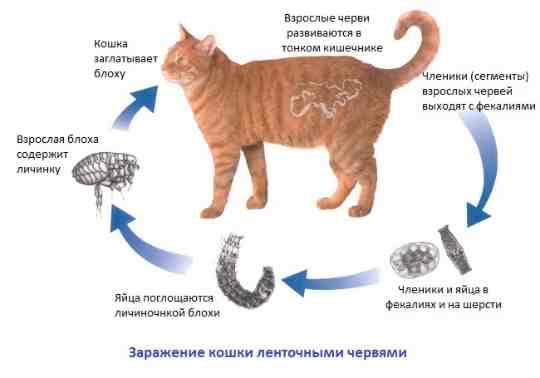 Процесс заражения котов глистами