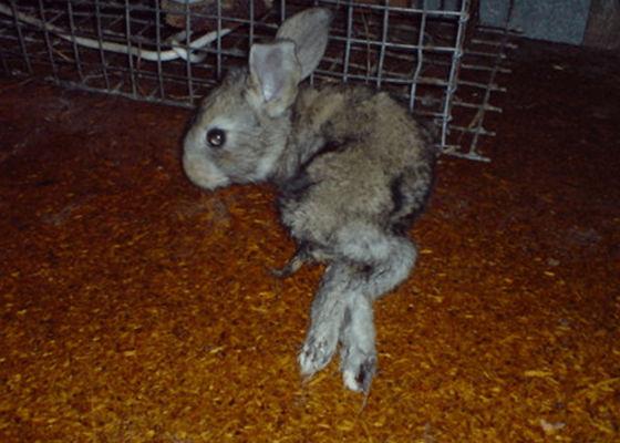 Больной глистами кроль