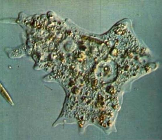 Строение амебы