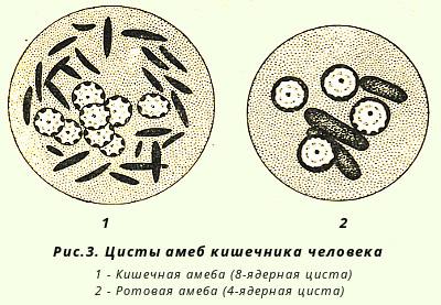 Строение цисты амебы