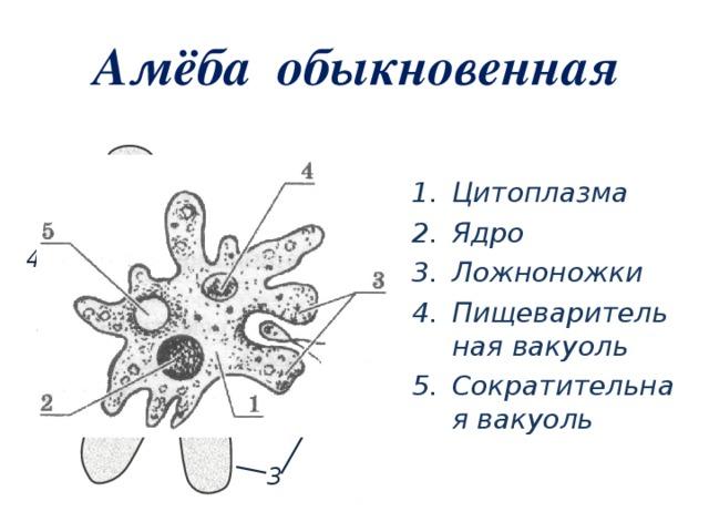 Внешнее строение тела амебы