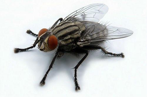 Тропическая муха