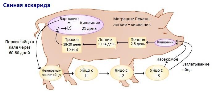 Жизненный цикл свиной аскариды