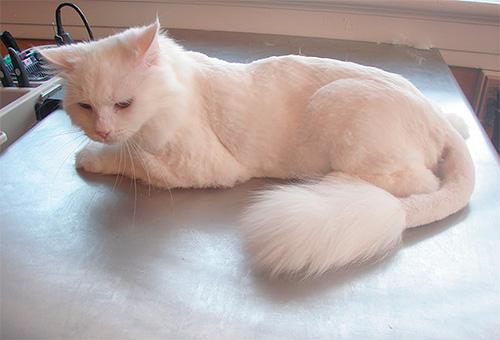 Как выглядят кошачьи глисты