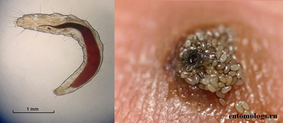 Личинка острицы