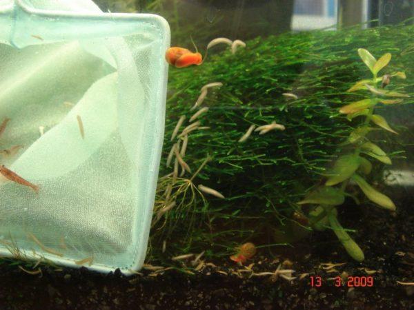 Планарии в аквариуме