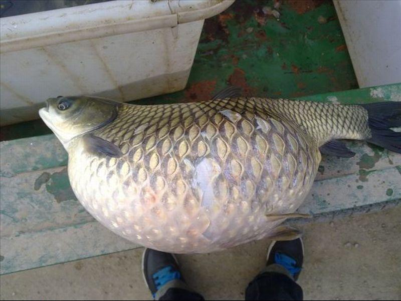 Признаки солитерной рыбы