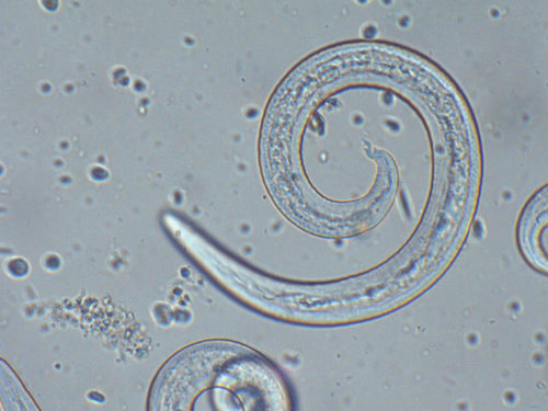Angiostrongylus vasorum