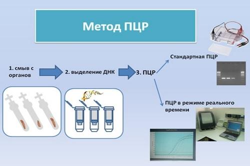 ПЦР метод диагностики токсоплазмоза