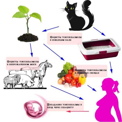 Можно ли заразиться от кошки человеку