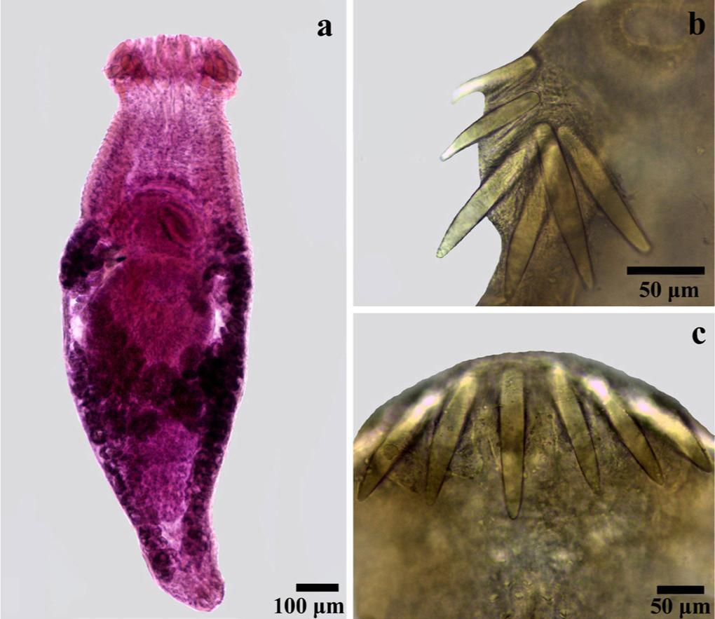 Echinostomatidae