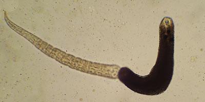 Notocotylus at-tenuatus