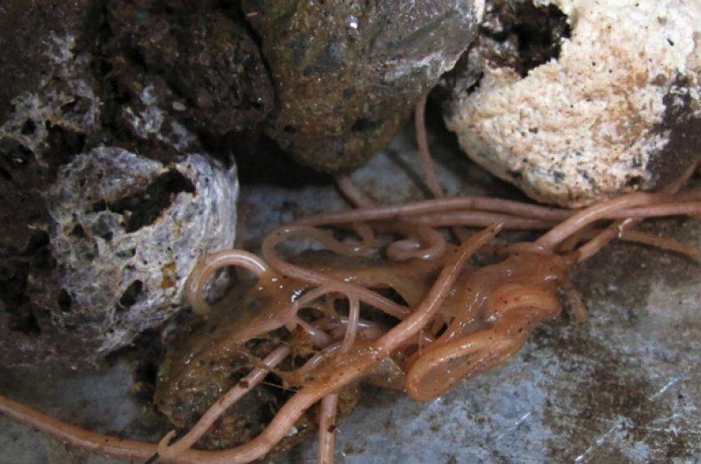 Трахейные красные черви