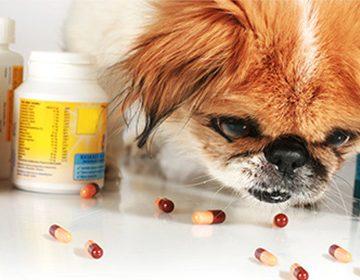 Анкилостомоз у собак