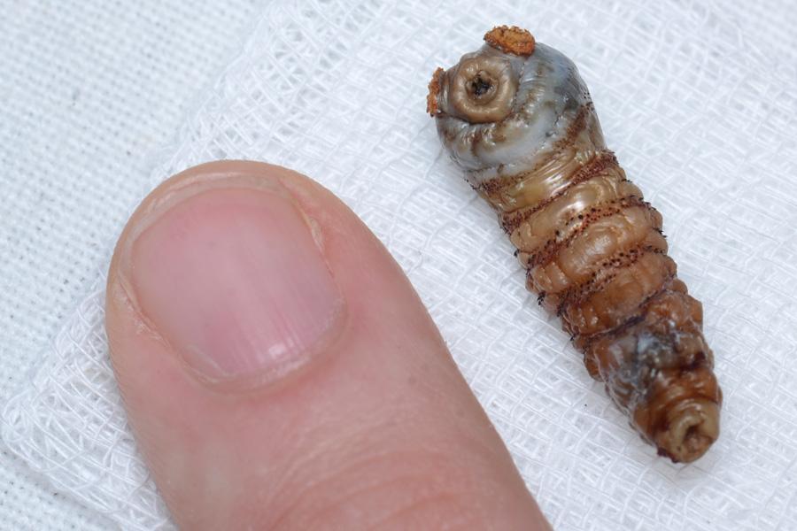 Как выглядит и развивается личинка?