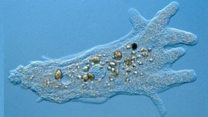 Непатогенные амебы