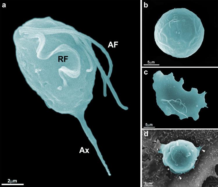 Особенности Trichomonas tenax