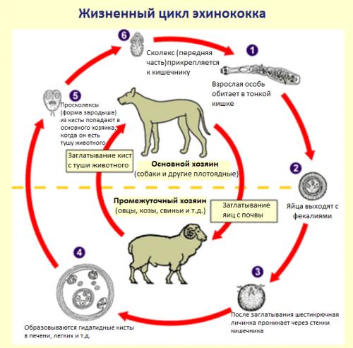Эхинококкоз собак