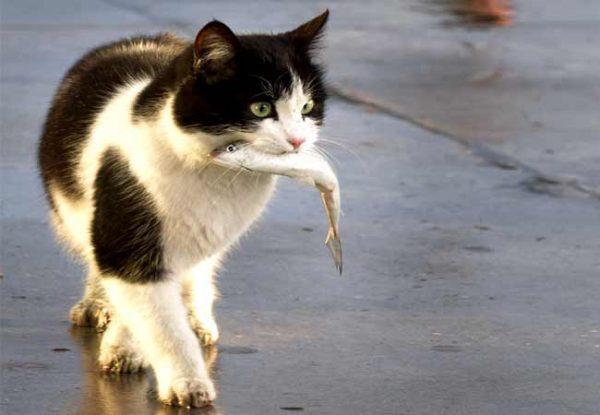 Опасен ли для человека кошачий описторхоз
