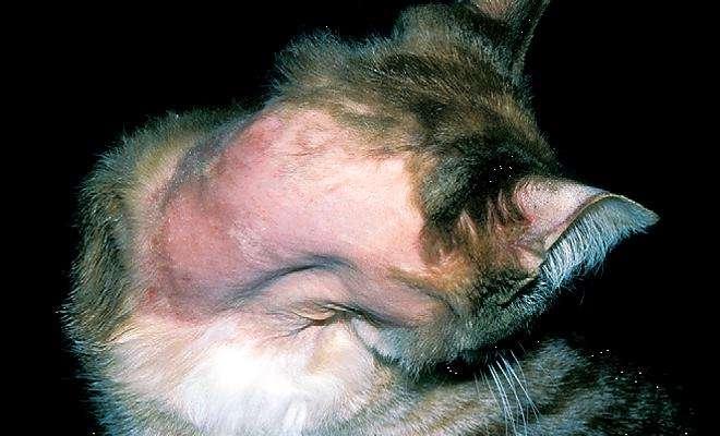 Симптомы демодекоза у кошек