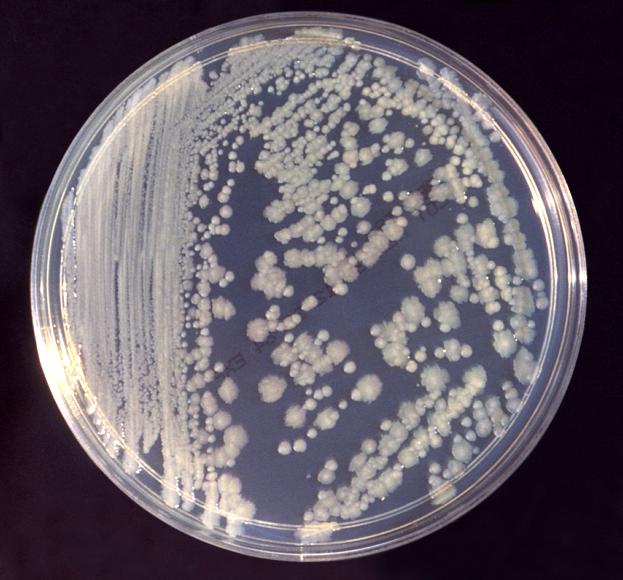 Что такое Enterobacter aerogenes?