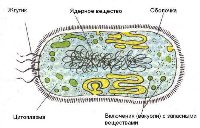 Почему большинство бактерий относят к гетеротрофам