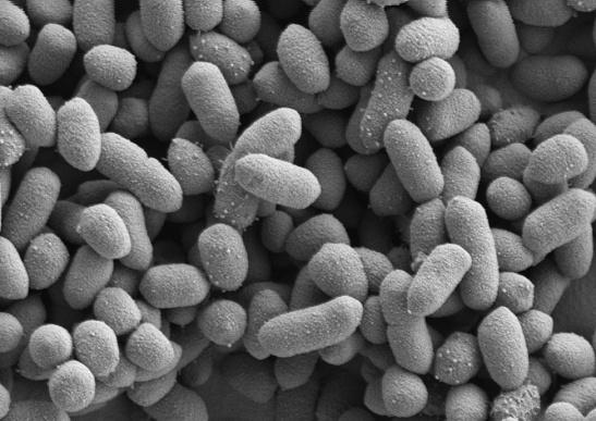 bakteroidy