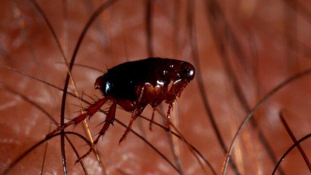 Блоха – паразит