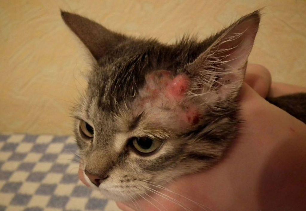 Отодектоз у кошек: симптомы