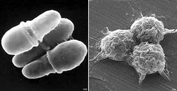 Кто такие настоящие бактерии?