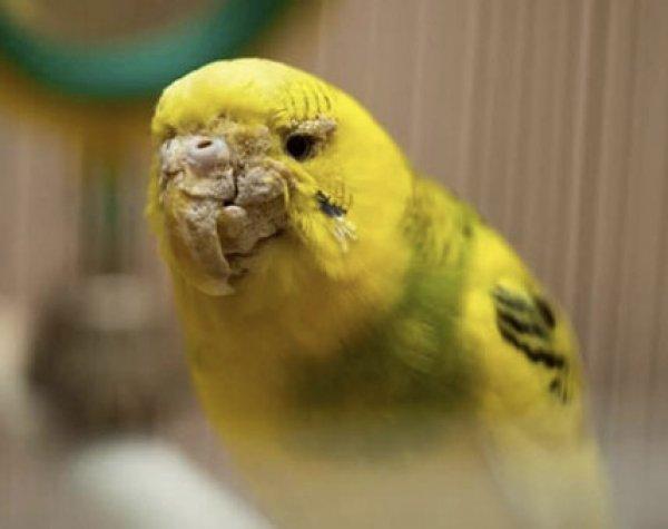 Глисты у попугая