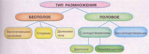 Процесс бесполого размножении как составная часть циклов паразитических животных